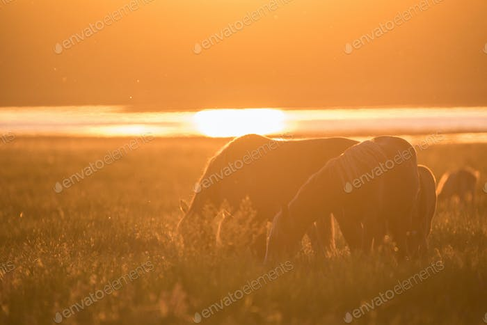 Wild horses grazing on summer meadow at sunset