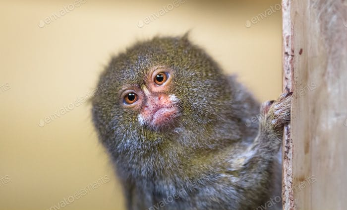 Pygmy Marmoset Peeks Around a Wooden Pole