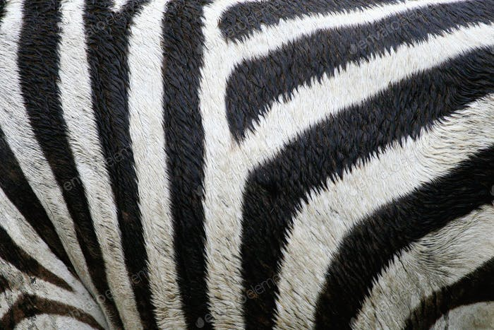 zebra in the wilderness of East Africa