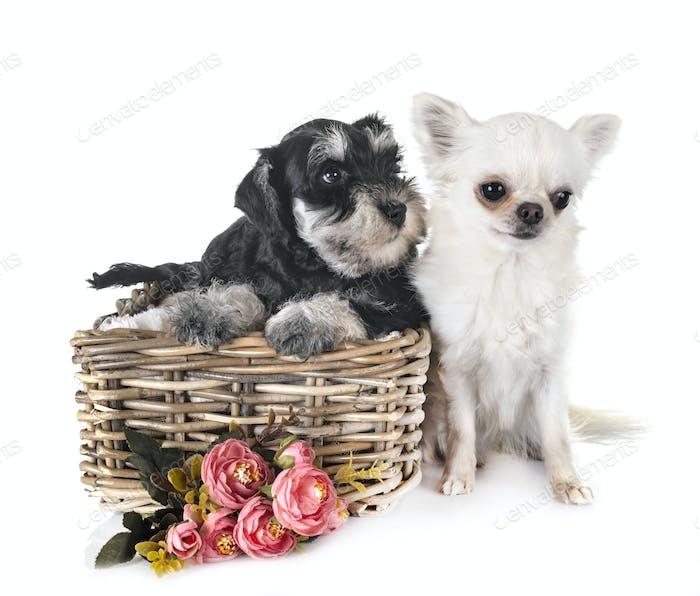 puppy miniature schnauzer and chihuahua
