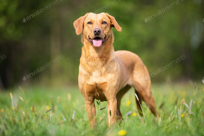 Bright Labrador Retriever from the Working Line