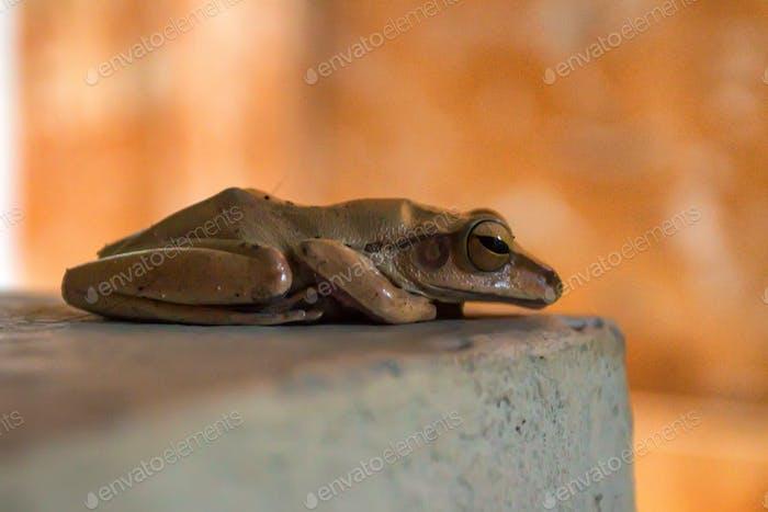 Beautiful grey tree frog in Thailand