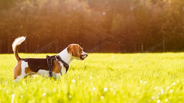 Hund Beagle Outdoor