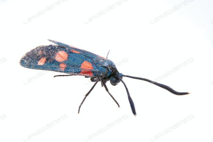 Schwarzer Schmetterling mit roten Punkten auf dem weißen Hintergrund