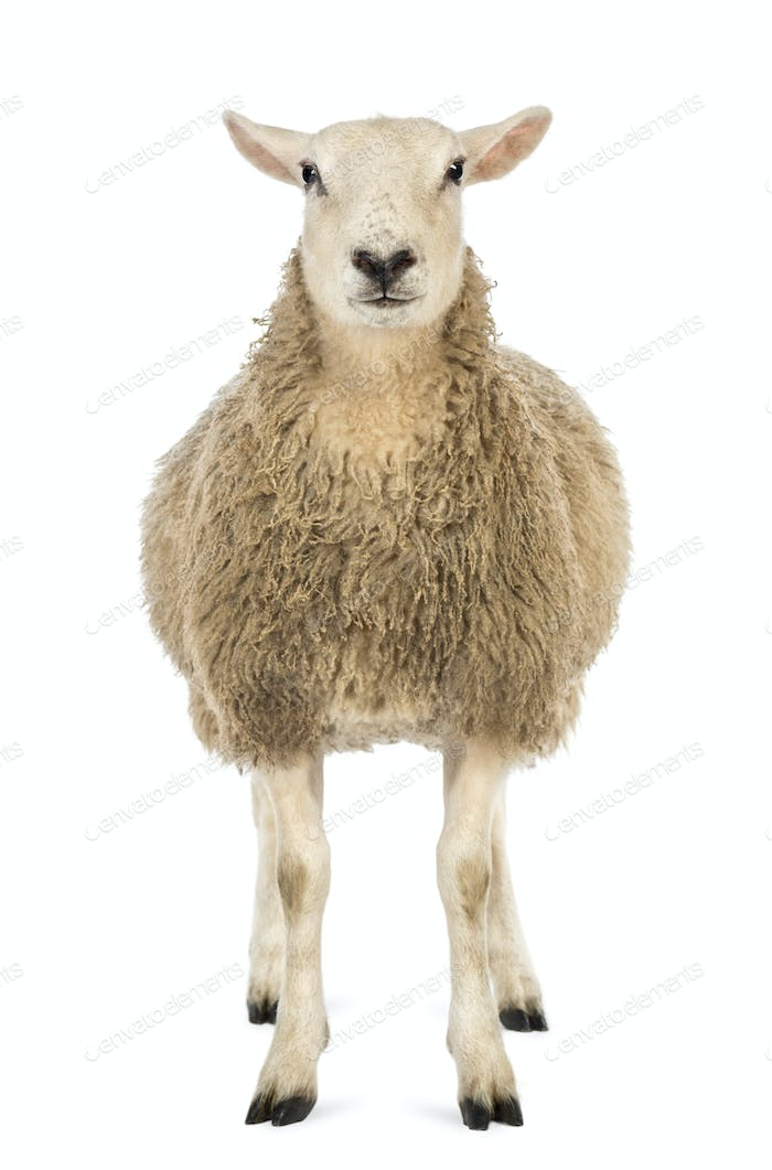 Front view of a Sheep looking at camera against white background