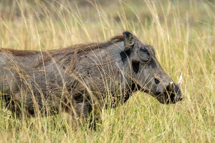 Warthog auf dem Nationalpark, Kenia