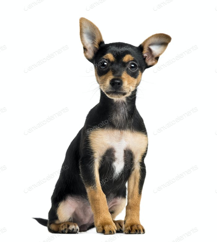 Puppy German Pinscher sitting, 2 months old, isolated on white