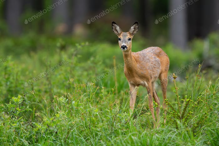 Cute roe deer doe looking into camera inside spring forest with copy space