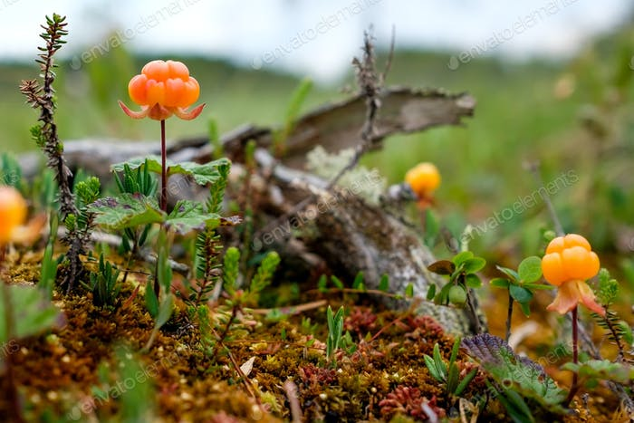 Cloudberry growning on swamp closeup in summer