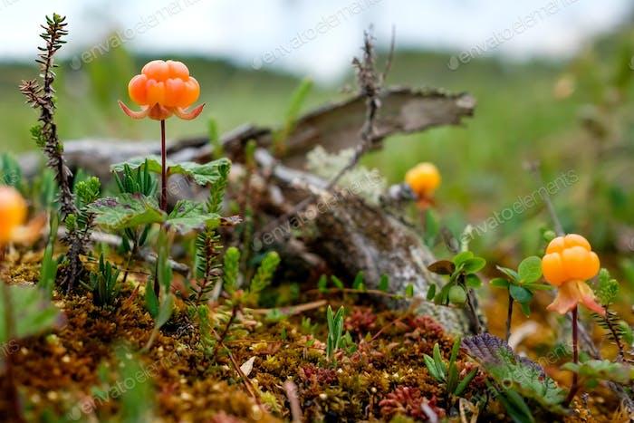Moltebeere erwachsen auf Sumpf Nahaufnahme im Sommer