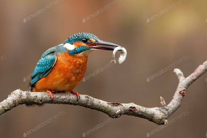 Common kingfisher, alcedo atthis, and the moment of the capture of its fish prey
