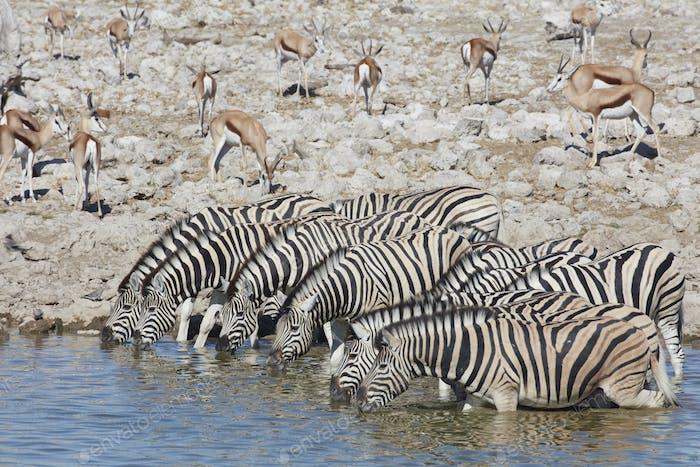 Burchell's zebra, Equus quagga burchellii, and a springbok, Antidorcas marsupialis, standing in