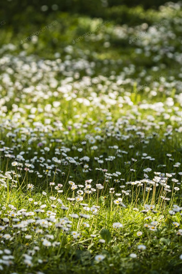 Green grass with yellow dandelion and white daisy flowers