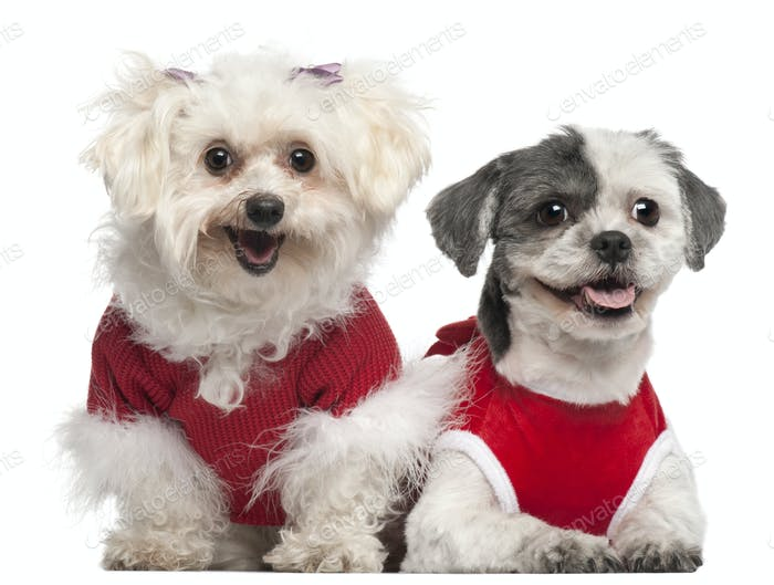 Maltese, 6 years old, and Shih Tzu, 5 years old, dressed in red and sitting