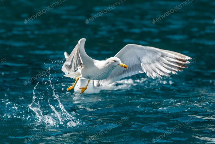 Gull hunting down fish