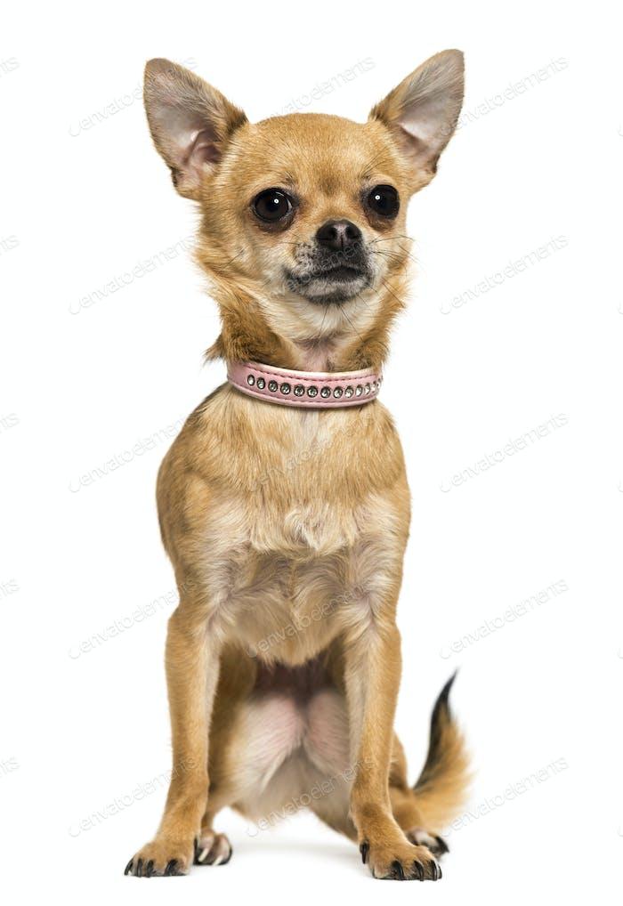 Vorderansicht eines Chihuahua mit rosa Kragen sitzend, 2,5 Jahre alt, isoliert auf weiß