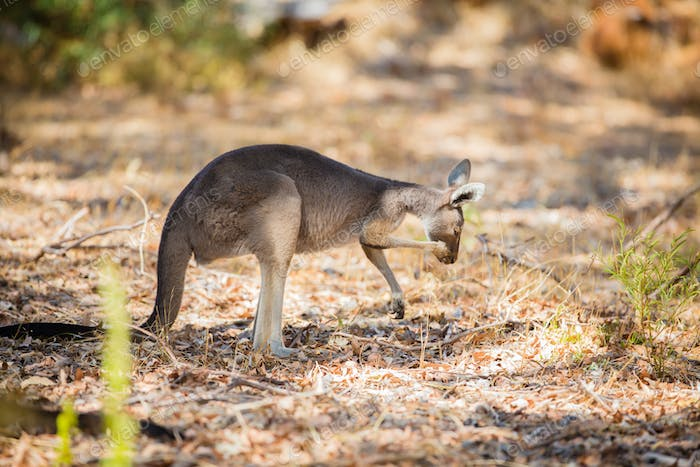 Eating kangaroo in the wild