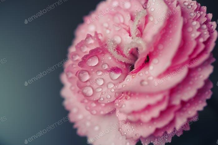 Morning dew on Carnation