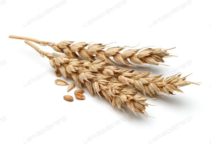 Weizenohr isoliert auf weißem Hintergrund Ausschnitt