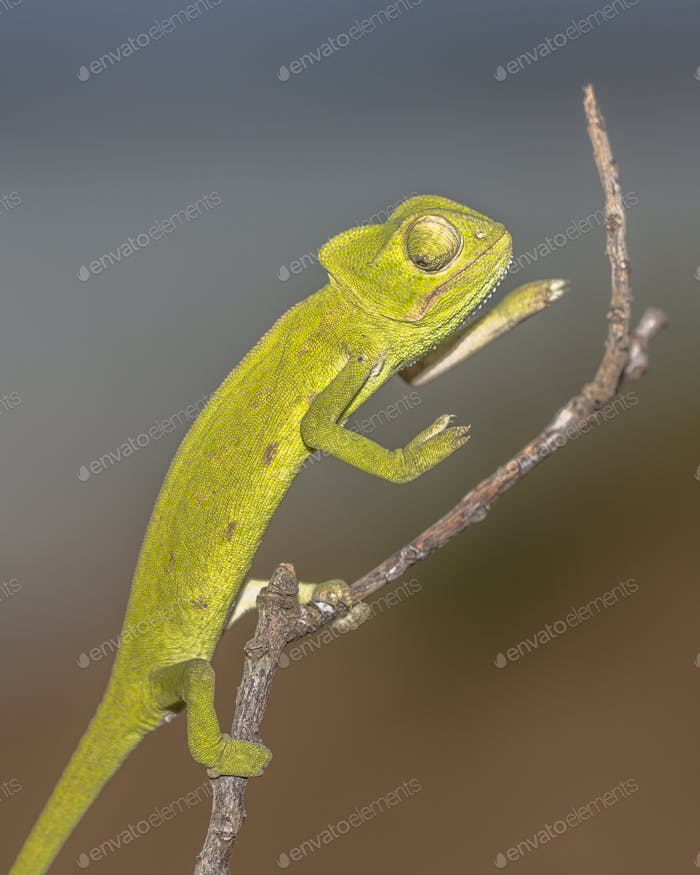 African chameleon on stick