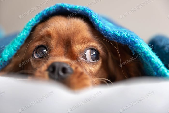 Cute ruby cavalier spaniel under the blanket