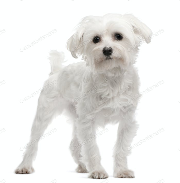 Maltese, 1 year old, standing in front of white background