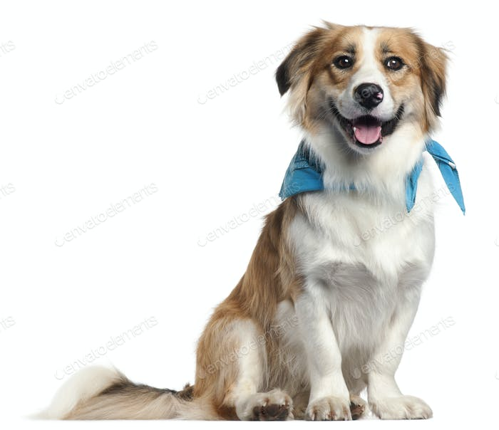Border Collie wearing blue handkerchief, 1 year old, in front of white background