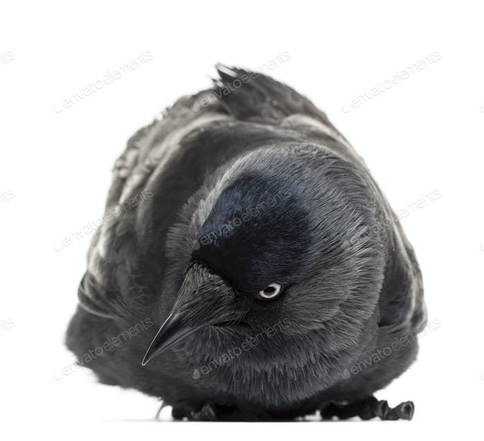 Western Jackdaw lying and looking down, Corvus monedula