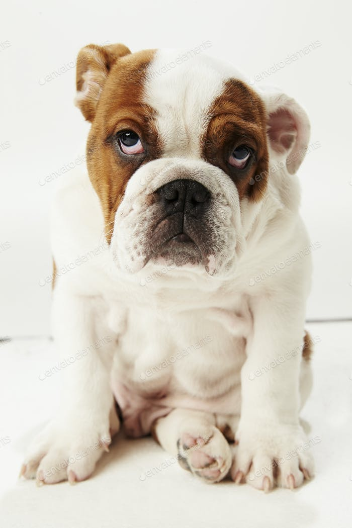 Studio Shot Of British Bulldog Puppy Sitting On White Background