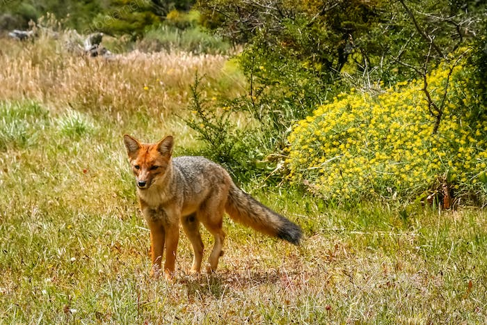 Patagonian fox in the grass