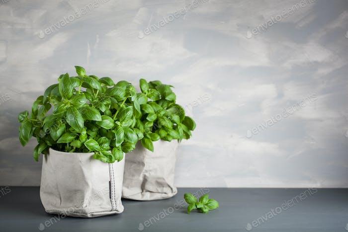 fresh basil herb in paper pot
