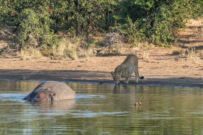 Sleeping hippo, red-billed oxpecker and lioness drinking water