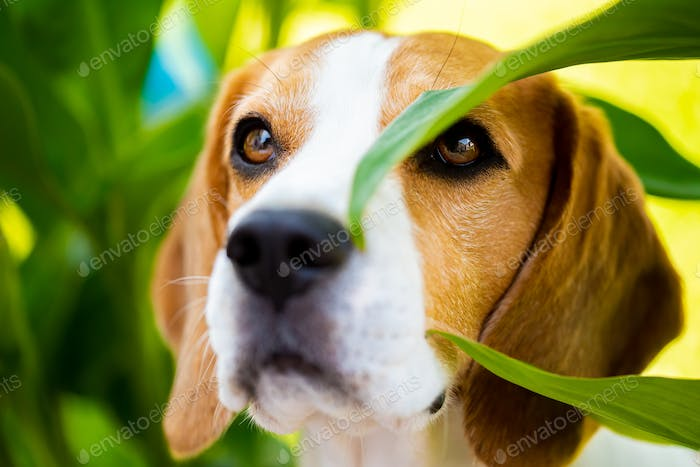 Portrait of Beagle dog between green leaves outdoors