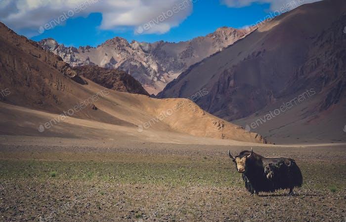 Huge black furry yak