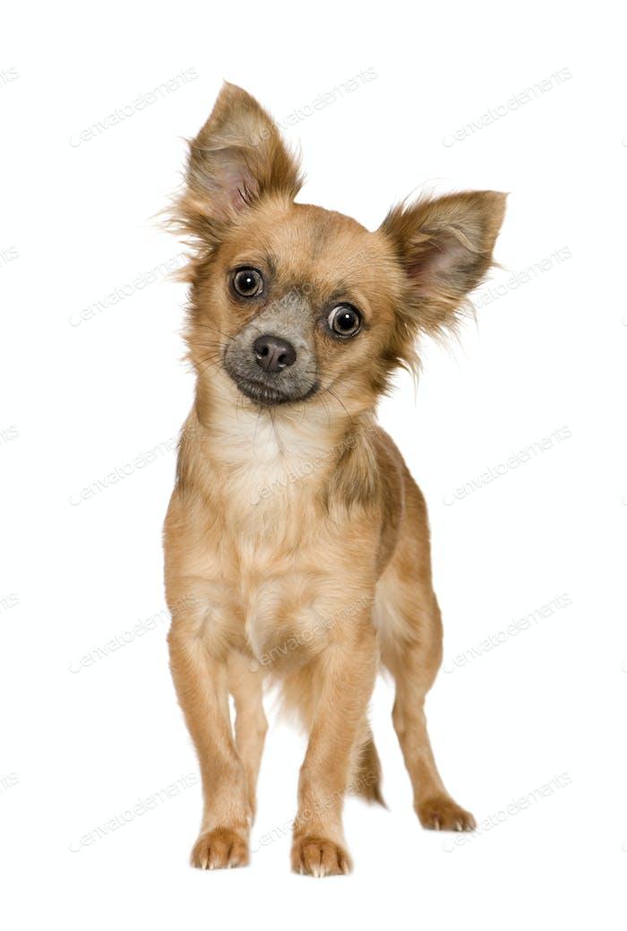 chihuahua (18 months)