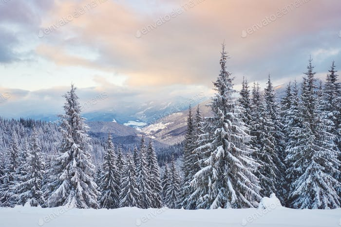 Majestic white spruces glowing by sunlight. Picturesque and gorgeous wintry scene. Location place
