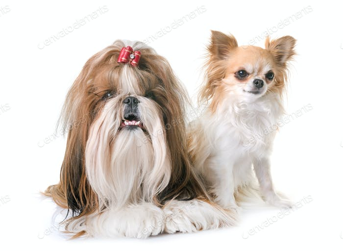 shihtzu and chihuahua