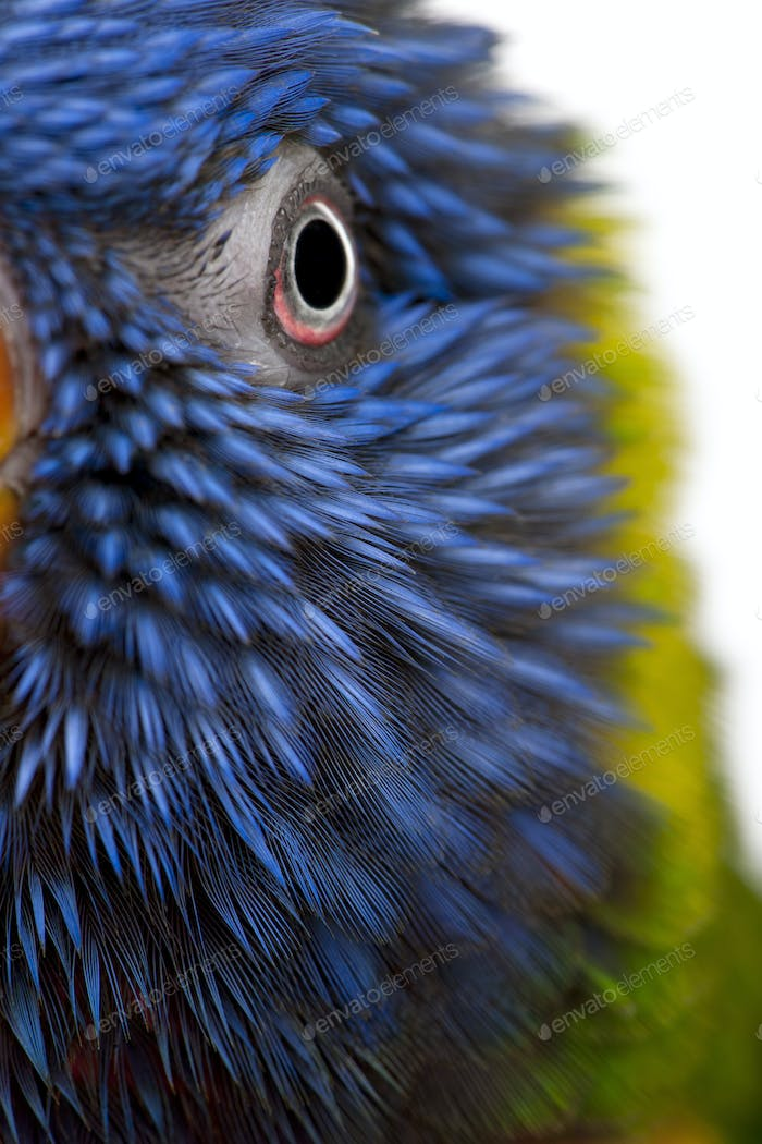 Close-up of Rainbow Lorikeet, Trichoglossus haematodus, 3 years old, in front of white background