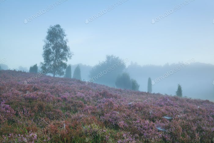 heather on hill during foggy morning