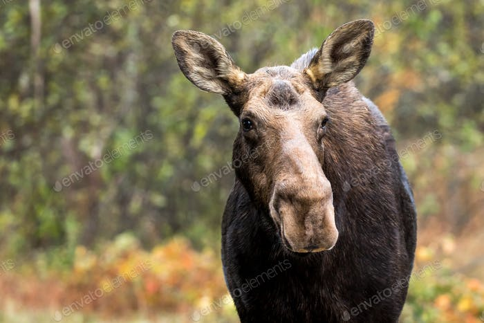 Moose - Alces alces, portrait of a female cow.  Bokeh of autumn colored leaves in the background.
