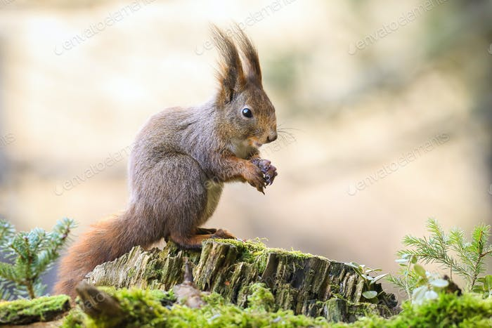 Cute red squirrel sitting on a moss covered stump with folded hands