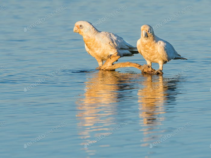 White Corellas Drinking