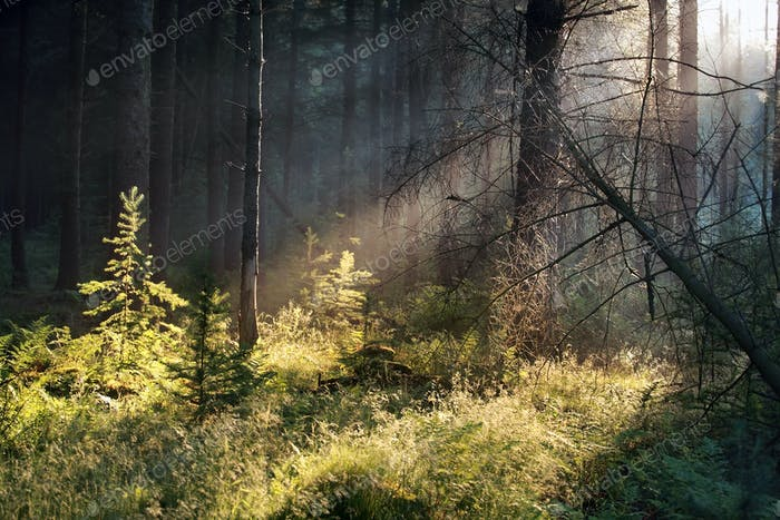 morning sunbeams in coniferous forest
