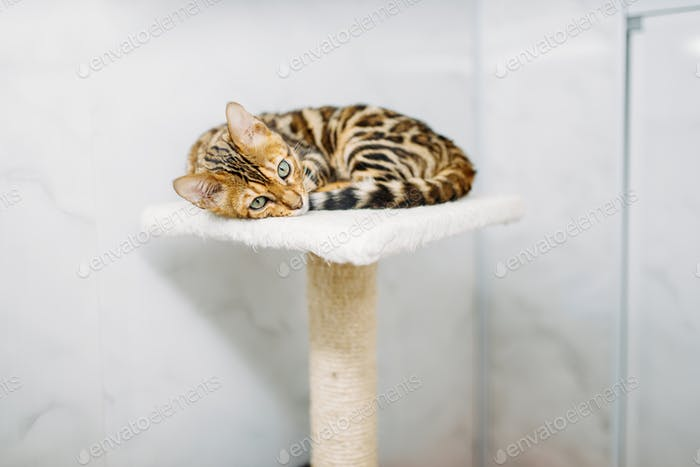 Cat with beautiful tiger coloring lies on stand