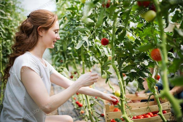 Junge lächelnde Landwirtschaft Frau Arbeiter arbeiten, Ernte Tomaten im Gewächshaus