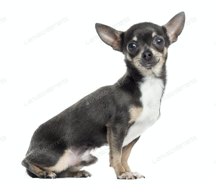 Side view of a Chihuahua, isolated on white
