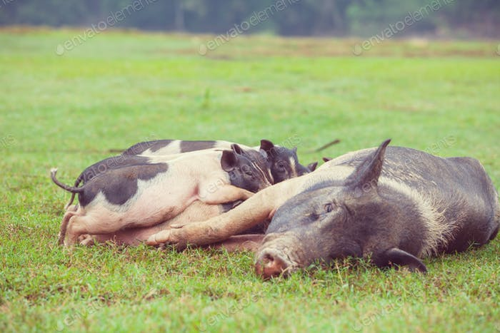 Vietnamesisches Schwein