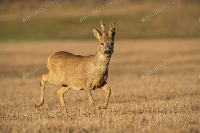 Roe deer buck in winter coating with antlers in velvet