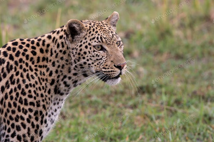 Beautiful Leopard in Masai Mara, Kenya