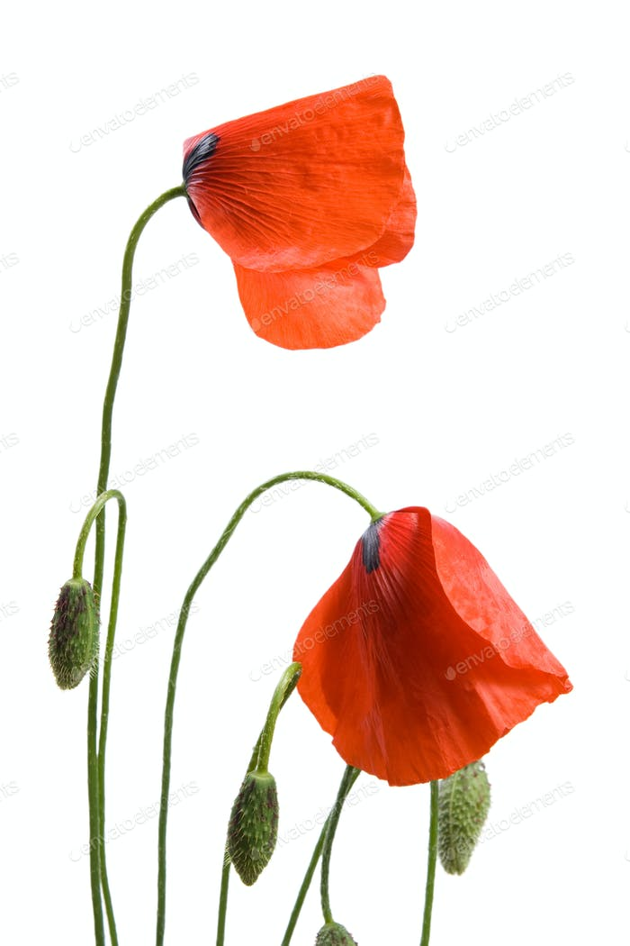 Thumbnail for Red poppies